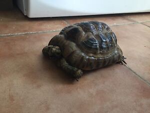 Greek tortoise for sale with cage if needed