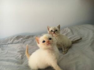 Kittens for sale Waterloo Inner Sydney Preview