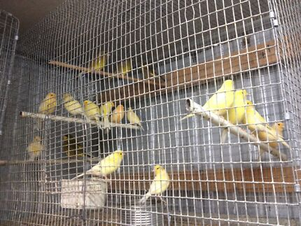 Canaries and budgies for sale Taylors Lakes Brimbank Area Preview