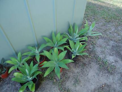 Plants Agaves