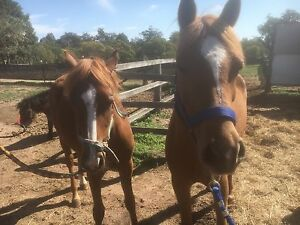 Chestnut pony mare Plainland Lockyer Valley Preview