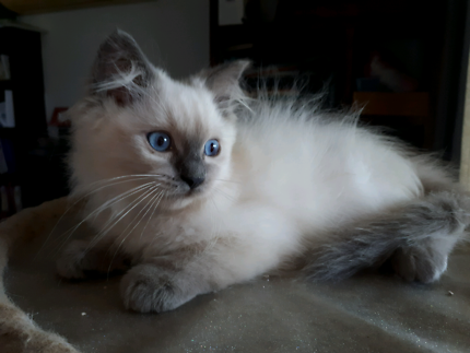 RAGAJEAN RAGDOLL CATS AREGISTERED BREEDER WITH ANCATS