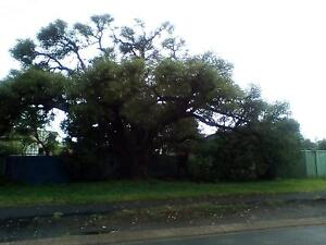 ??Baobab?? Raymond Terrace Port Stephens Area Preview