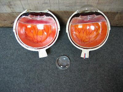 Vintage Merck Anatomical Eye Model 1963 Eye Doctor Display Model