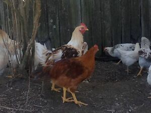 Young americauna roosters