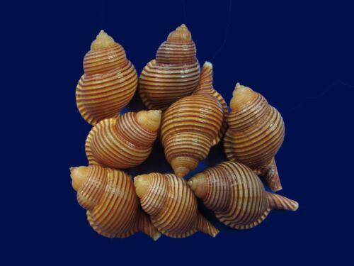 Seashells- Cymatium succincta 35-39mm F+++- TINY SIZES FOR TALIOR VALENTINES!!!