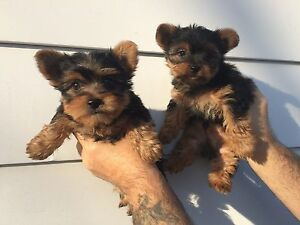 YORKIE PUPPIES - READY FOR CHRITSMAS