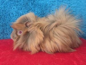 Guinea Pigs for sale  & Show Pymble Ku-ring-gai Area Preview