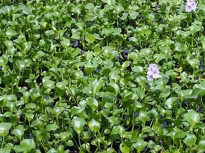 100 Water Hyacinth Floating Pond (Water Hyacinth Pond Plant)