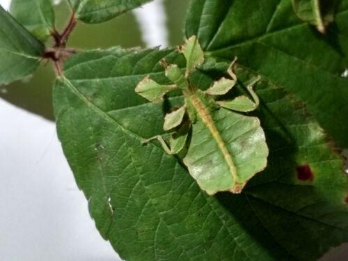 """RARE Eggs of leaf insect """"Phyllium ericoriai"""" x30"""