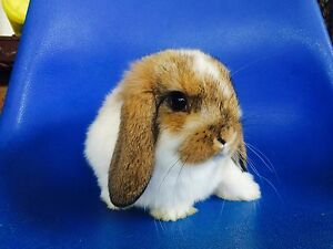 Mini lop baby rabbit Willetton Canning Area Preview