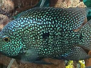 a pair green texas cichlids for sale Riverwood Canterbury Area Preview