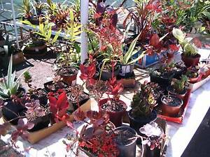 Plants , trees , shrubs and more South Lismore Lismore Area Preview
