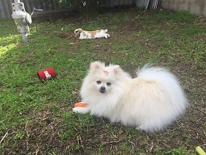 Purebred Pomeranian wanted Bicton Melville Area Preview
