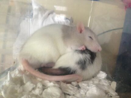 3 Male Rats for sale- includes Accesseries, Food and Cage! North Bondi Eastern Suburbs Preview