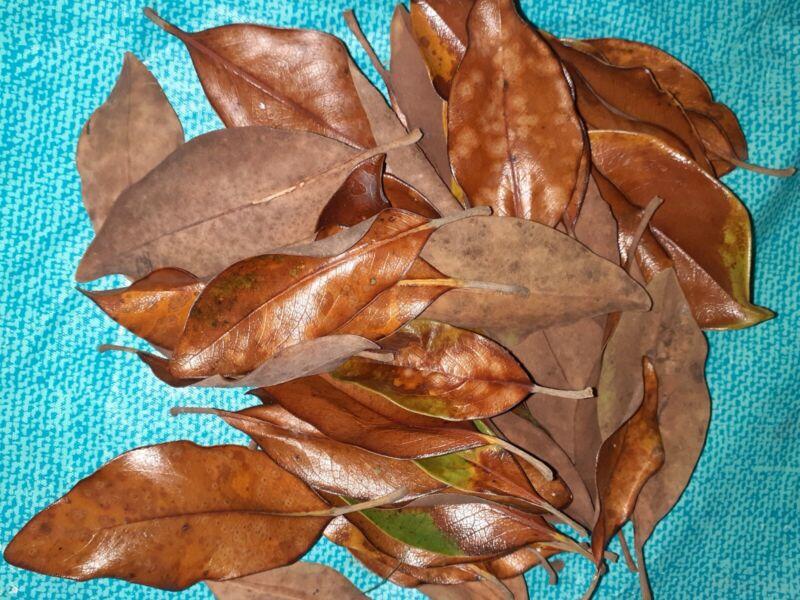 TEXAS MAGNOLIA LEAF LITTER Terrarium Frog VIVARIUM Reptile. 80 plus leaves bag