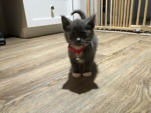 8 week Old Female Kitten