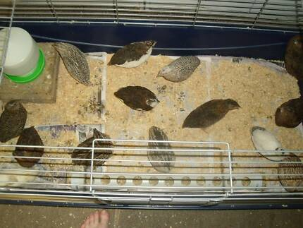 MALE Japanese Quail (Meat, Pet, Breeding) Max 15 birds for Meat.