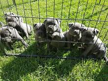 Purebred Blue English Staffy Puppies Pearcedale Casey Area Preview