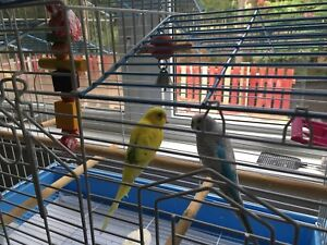 A pair of budgie