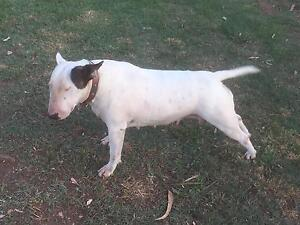 Female white bull terrier Gulgong Mudgee Area Preview