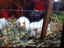 Two Sheba Guinea Pigs w/ Hutch and accessories (Lane Cove) Lane Cove Lane Cove Area Preview