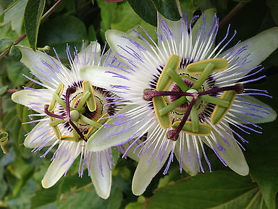 Blue Passion Vine - 25+ BLUE PASSION FLOWER Passiflora caerulea / DEER RESISTANT, VINE FLOWER SEEDS