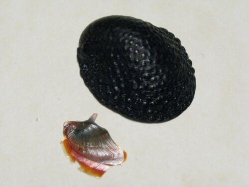 "Neritina granosa (Sowerby, 1825) ""ENDEMIC HAWAIIAN SLIPPER SHELL"" (32.2mm)"
