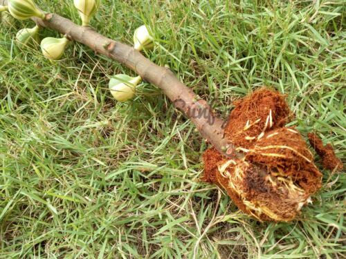 Bordissot negra rimada air layer fig  free Phyto certificate