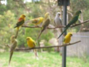 Red Rump Grass Parrots (this year and last year's) Kangarilla Morphett Vale Area Preview