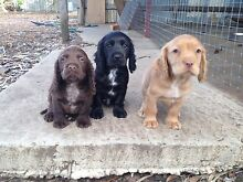 Cocker spaniel puppies Midland Swan Area Preview