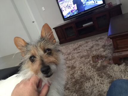 1 year old jack russell Baldivis Rockingham Area Preview