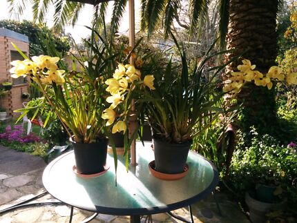 (For Sale) Agave's Orchid's Palm's Yucca's Succulents Blackburn Whitehorse Area Preview