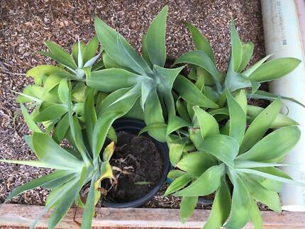 Agaves for Sale (6)