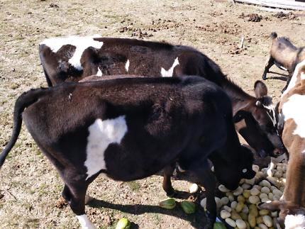 Farm Animals Sales (Moving out urgent sales )