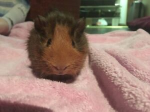 FREE- 2 male guinea pigs to be rehomed, all accessories included