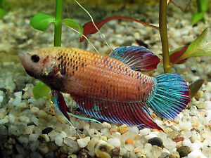FEMALE SIAMESE FIGHTING FISH ** VARIED COLOR ** 3CM ** TROPICAL FISH