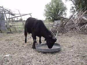 Goats for sale Armidale Armidale City Preview