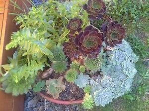 Round webber with established  succulents  urgent sale Bayswater Knox Area Preview