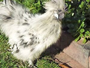 Pure Bred Silkie splash Rooster give away to a good home St Leonards Launceston Area Preview