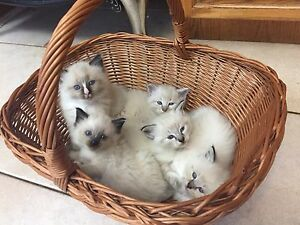 Purebred Ragdoll kittens ONLY ONE LEFT