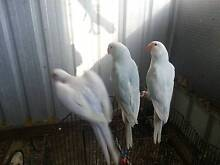 Aviary Indian Ringneck Parrots Burpengary Caboolture Area Preview