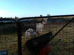 Goats for sale Mannum Mid Murray Preview