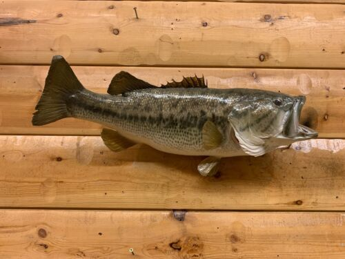 Real Skin Mount Largemouth Bass Small Mouth Crappie Fish Taxidermy FLM52