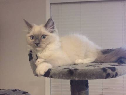 Regretful Sale, Adorable Blue Mitted Male Ragdoll - rehome 29 wks
