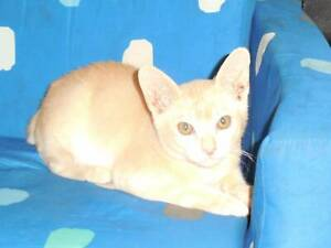 1 x  Red PURE BREED ''BURMESE'' Male Kitten
