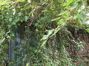 Free long ivy tendrills for special event decorations East Lindfield Ku-ring-gai Area Preview