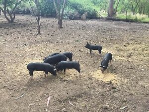 Pure Berkshire Piglets Macclesfield Mount Barker Area Preview