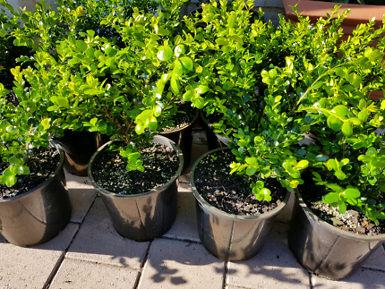 Buxus faulkner hedge also known as English box 200m pots $10ea