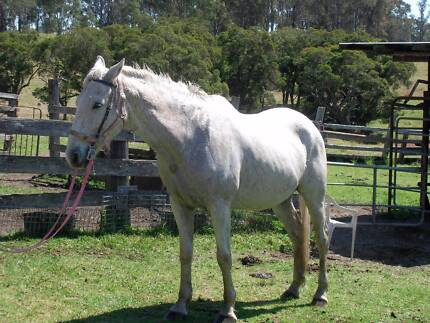HORSE  10 year old grey gelding x stockhorse Wards River Great Lakes Area Preview
